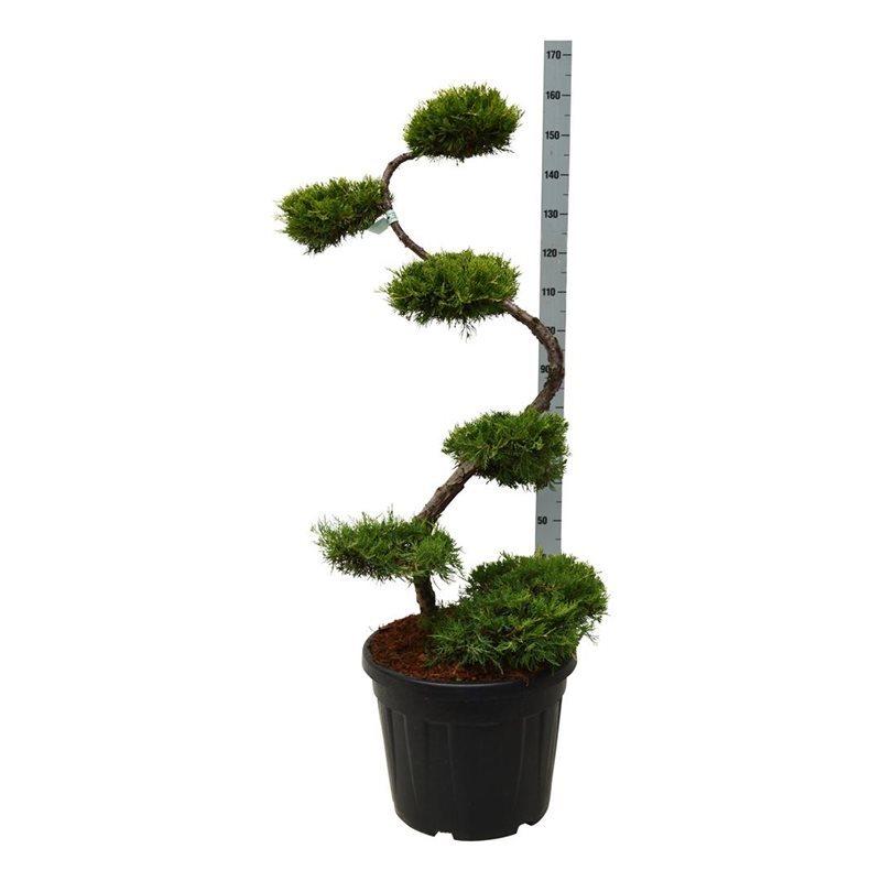 Juniperus x pfitzeriana 'Pfitzeriana Aurea' (160 cm)