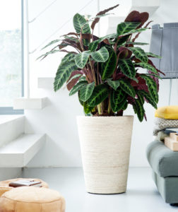 grote plant in pot