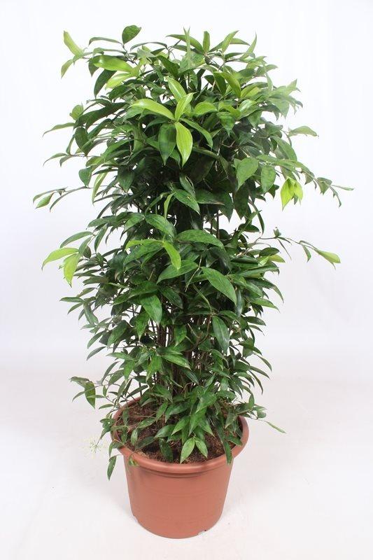 Dracaena Surculosa plant