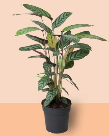 Calathea oppenheimiana plant