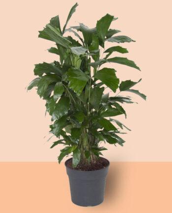 basisplanten-Caryota-mitis-(150-cm)