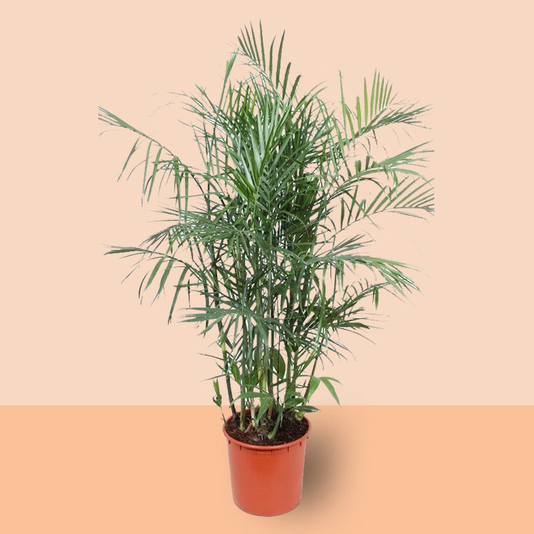 bergpalm kamerplant
