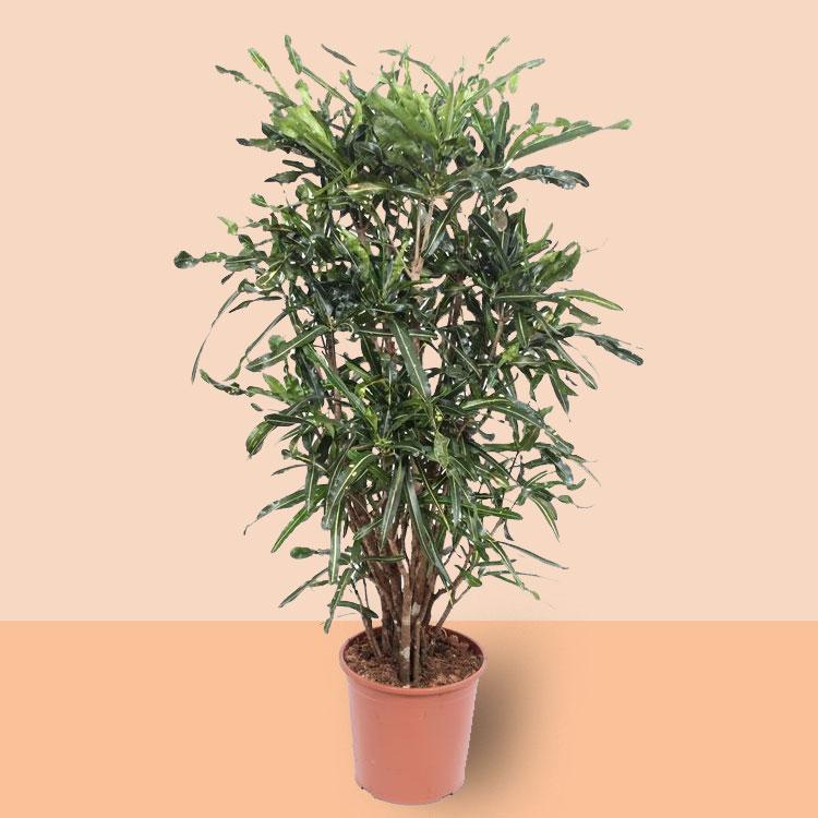 Codiaeum Curly (Croton Curly) (150 cm)