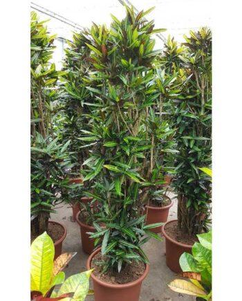 Croton batik