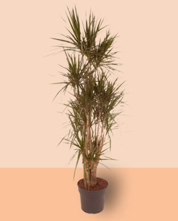 basisplanten-Dracaena-marginata-(vertakt-190-cm)-kamerplanten