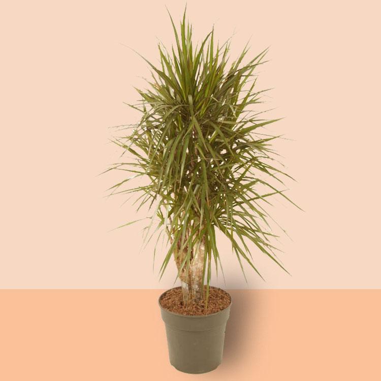 Dracaena marginata (vertakt)