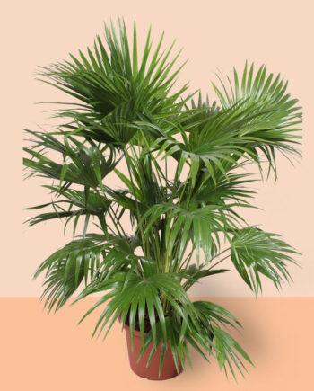 basisplanten-Livistona-chinensis-kamerplanten