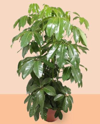 Schefflera actinophylla 'Amate' (200 cm)