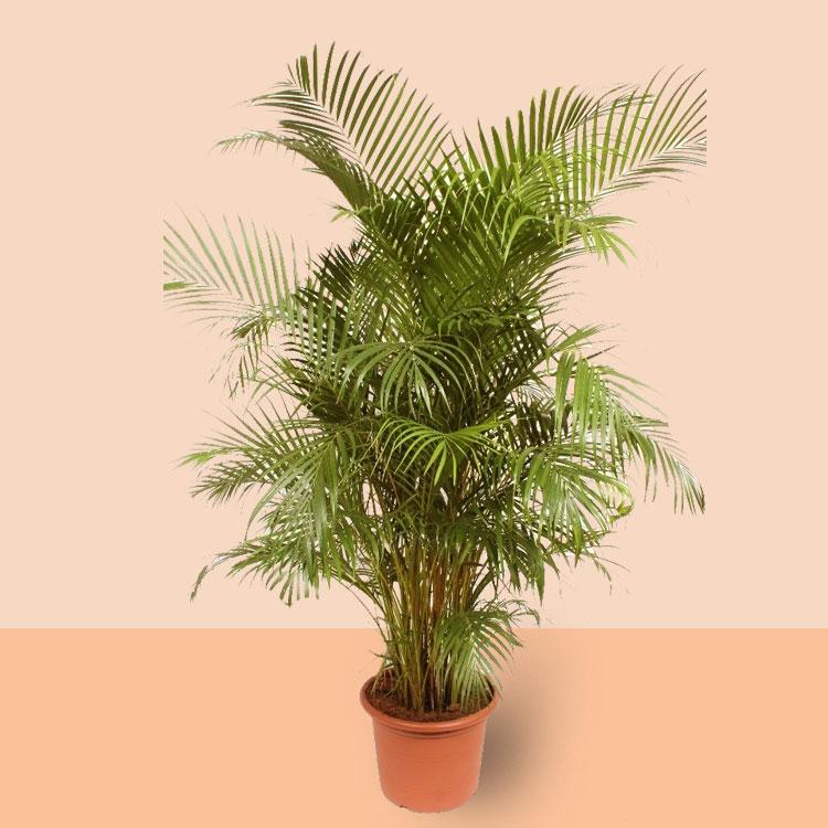 Dypsis lutescens kamerplant