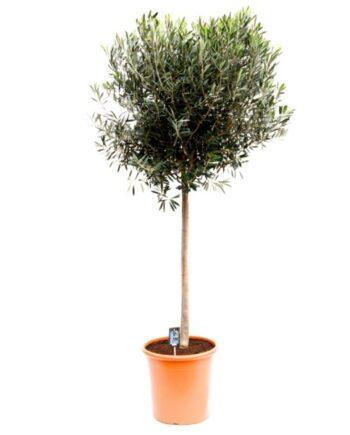 olijfboompje