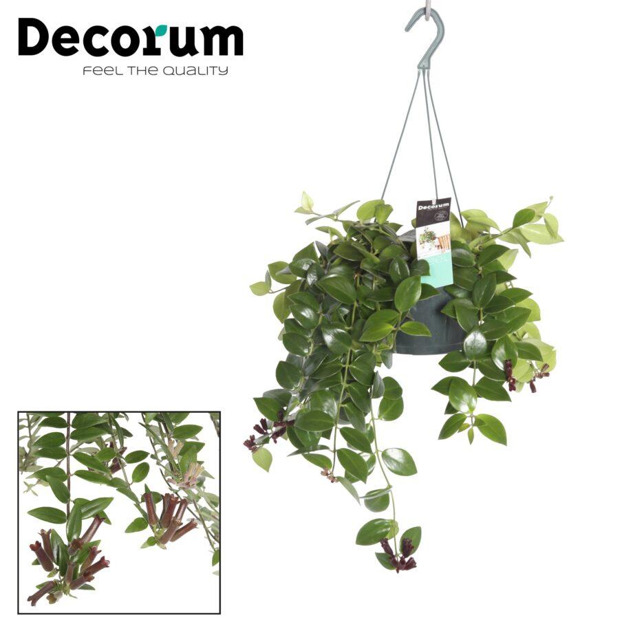 hangplant aeschynanthus