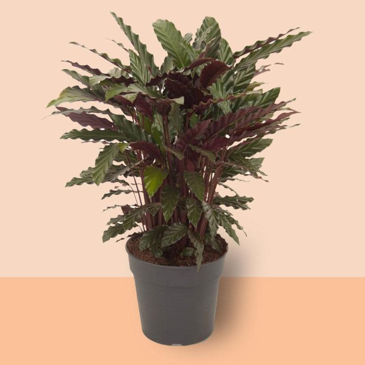 kamerplant Calathea wavestar