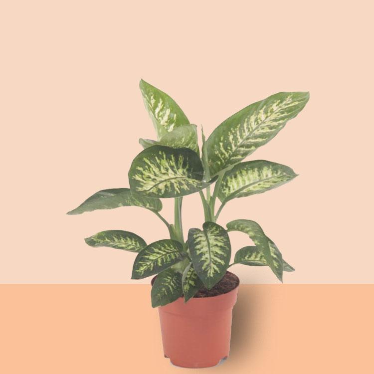 basisplanten-Dieffenbachia-tropic-snow
