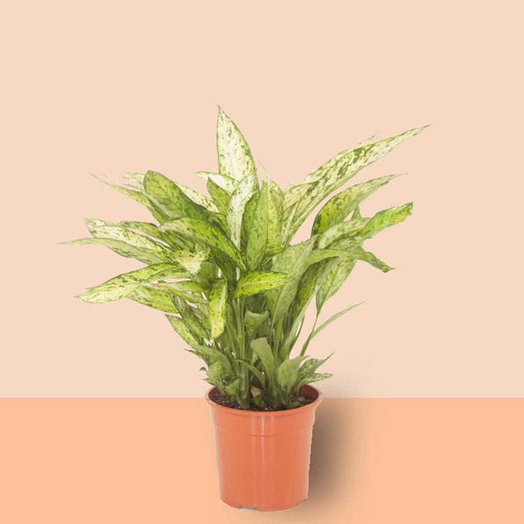 kamerplant Dieffenbachia Vesuvius