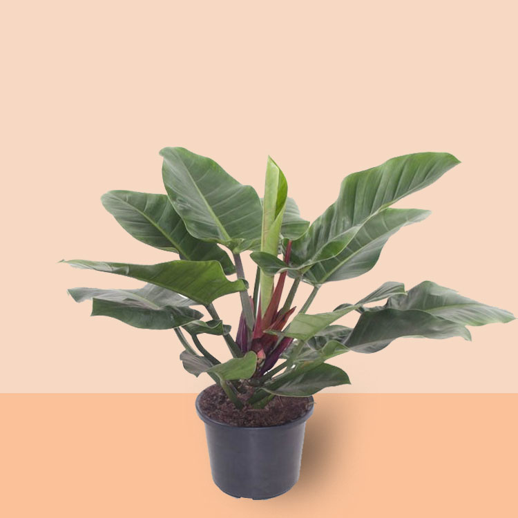 Philodendron Imperial Green plant