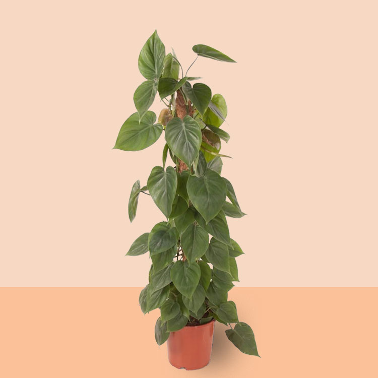 Kamerplant Philodendron scandens mosstok