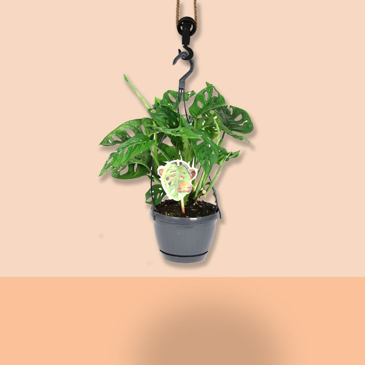 monstera hangplant