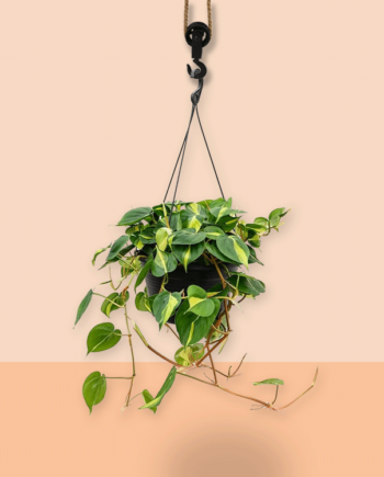 hangplant Philodendron grand brasil