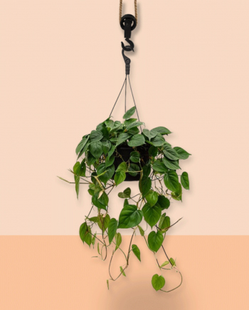 hangplant Philodendron scandens