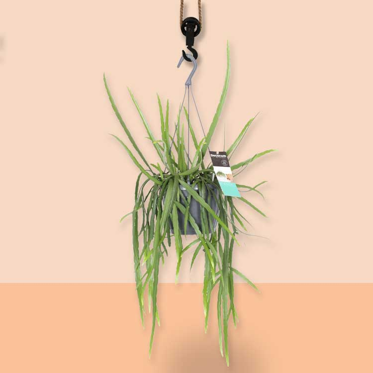 hangplant Lepisium bolivianum