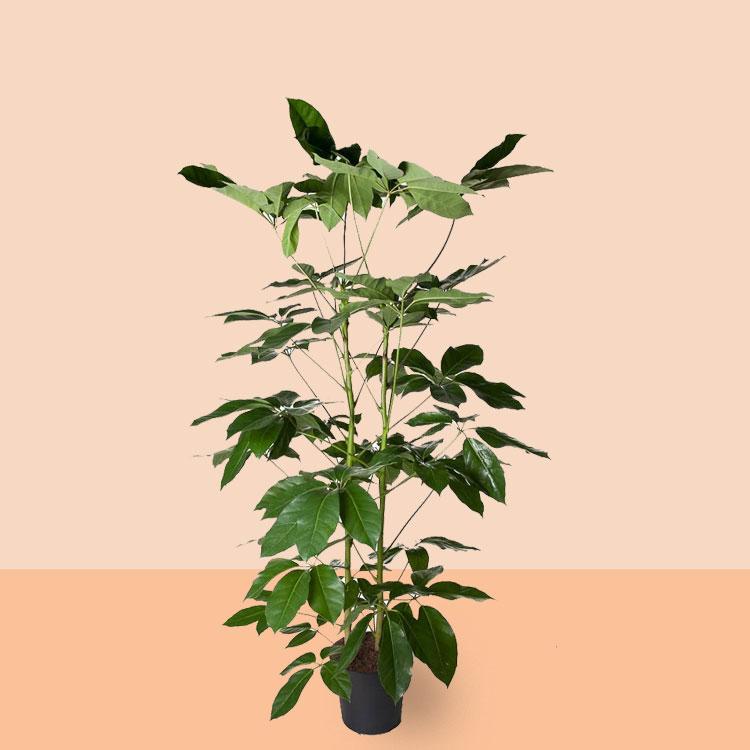 kamerplant Schefflera Amata