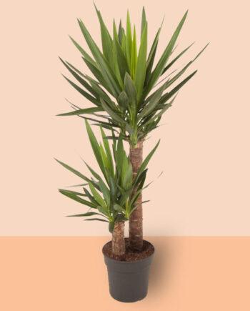 yucca kamerplant