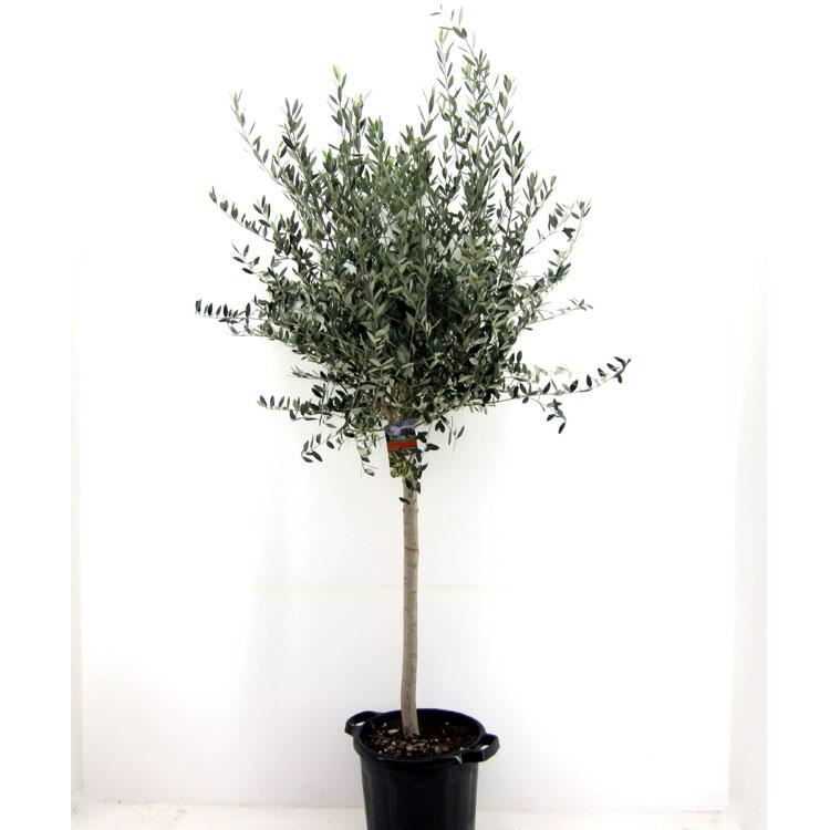 Olea europaea (4319)