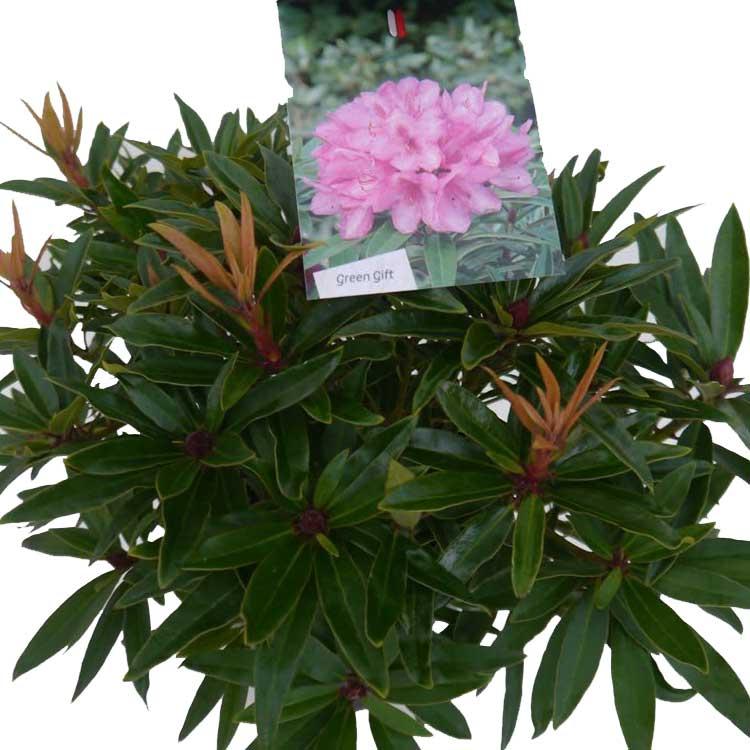 Rhododendron Graziella red/pink