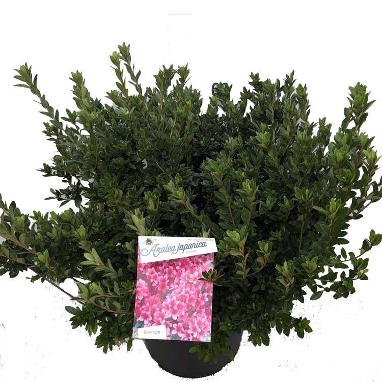 Rhododendron-Japanese-Azalea