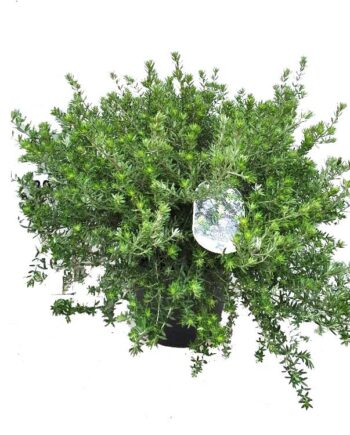 Westringia fruticosa - XL
