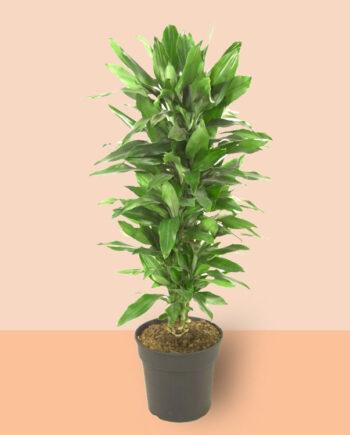 basisplanten-Dracaena-janet-lind-vertakt-p27