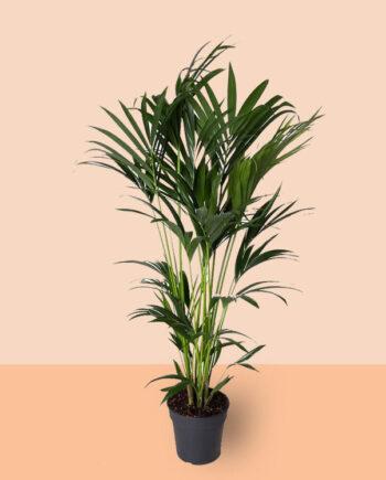 basisplanten-Howea-Forsteriana(kentia)