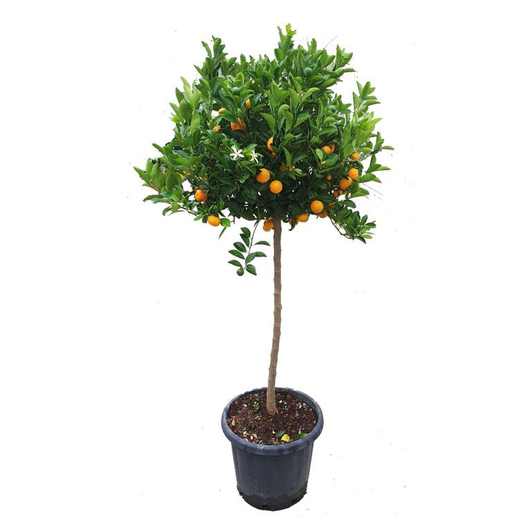 citrus-calamondin